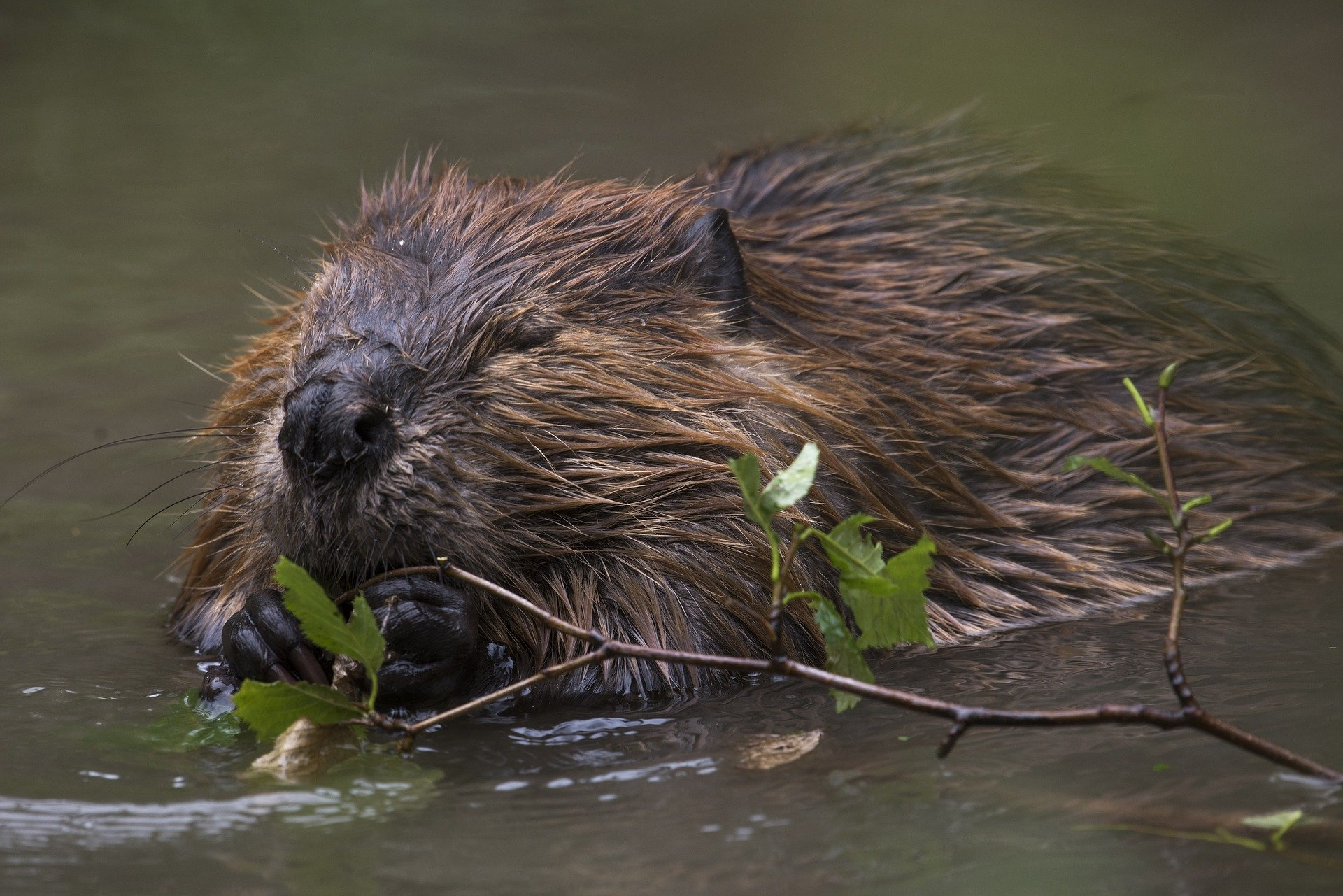 A photograph of a beaver (stock image from Pixabay)