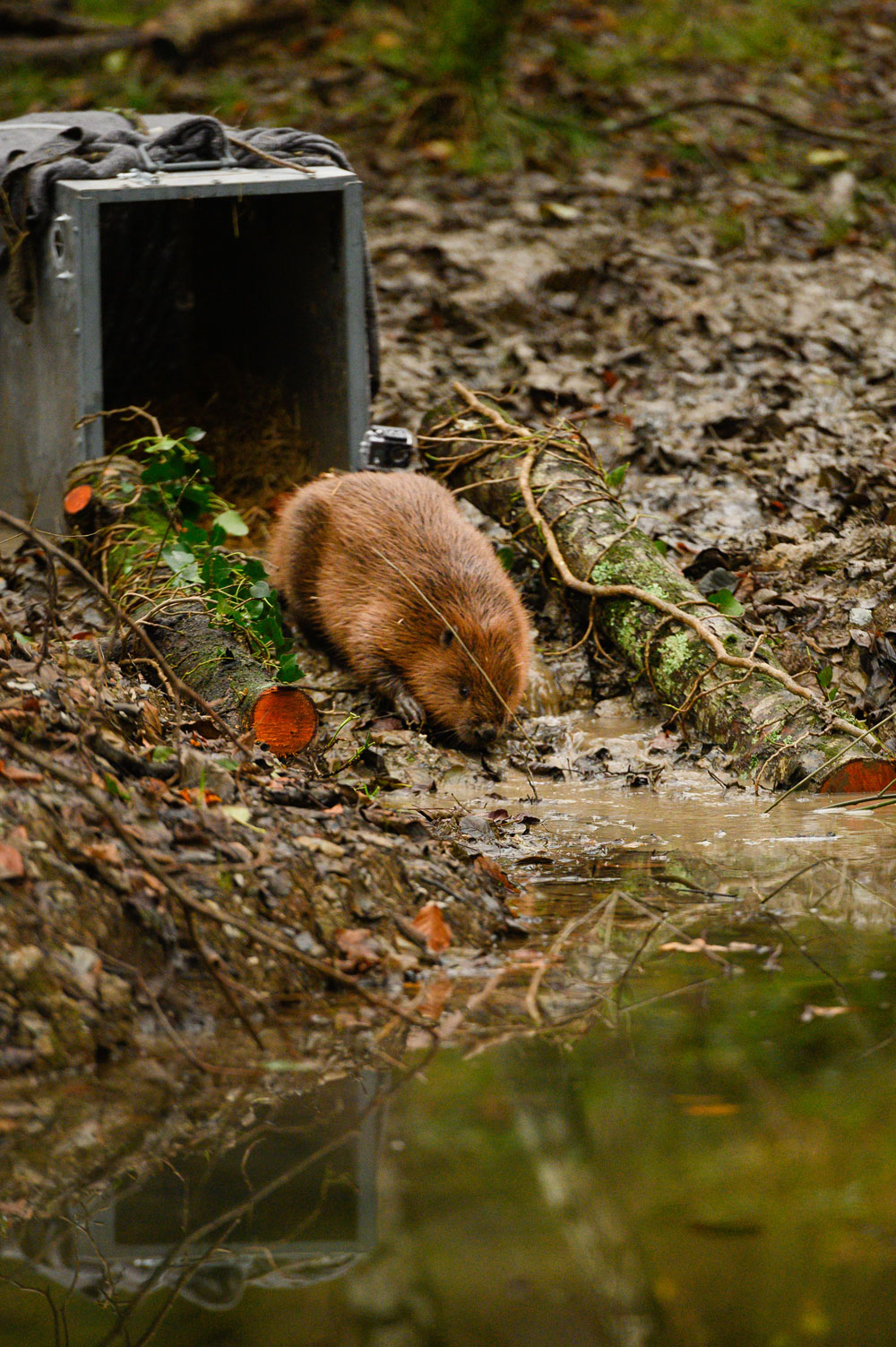 A photo of a beaver being release in Forder Valley as part of the Green Minds project