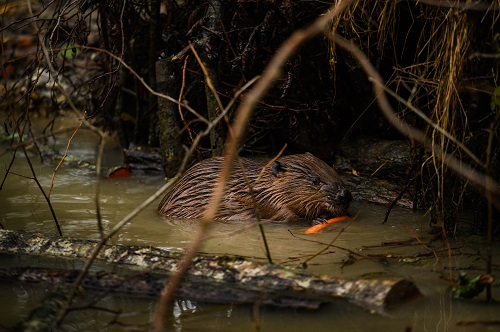 Poole Farm - Beaver Release. Chris Parkes