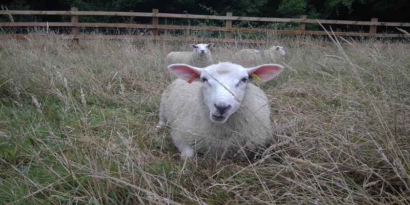 Sheep at Poole Farm