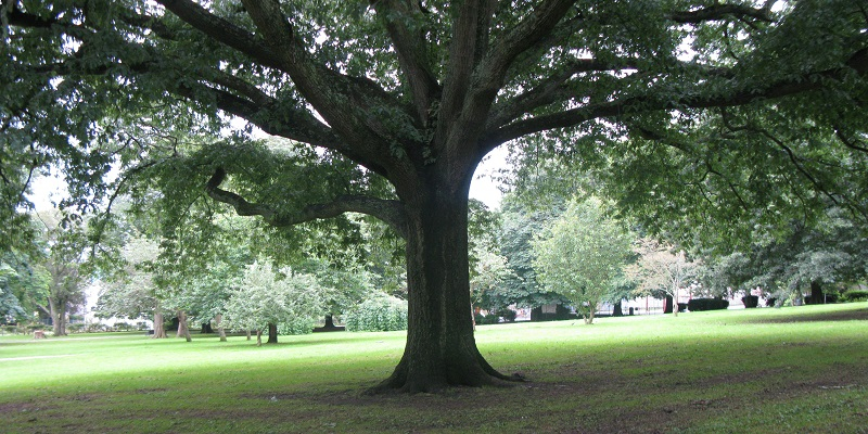 Image of oak tree