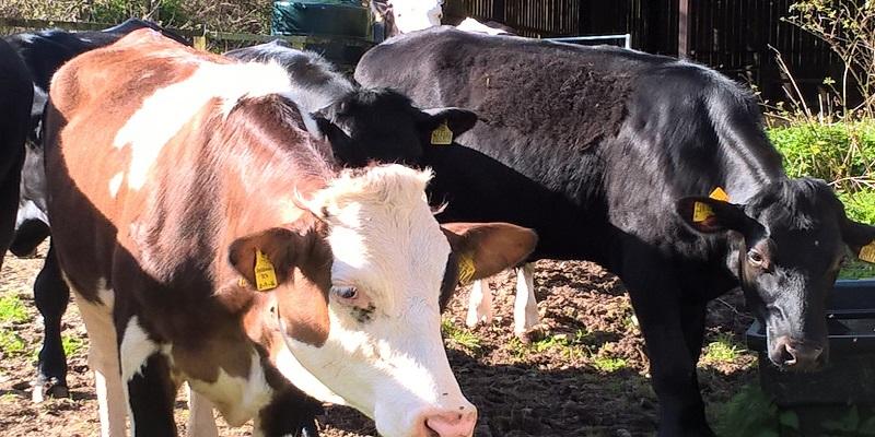 Poole Farm Cows