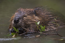 image of a beaver swimming