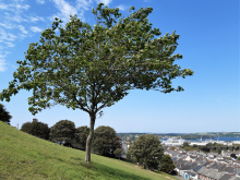 image of a tree with Devonport in the background